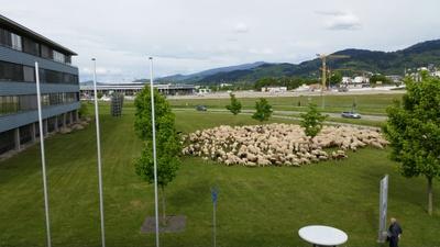 Schafe auf Campus