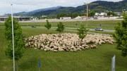 Schafe auf Campus_16x9